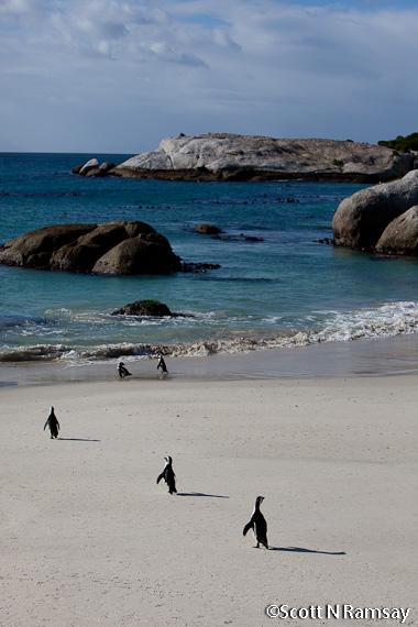 Boulders Beach Penguins - Table Mountain National Park