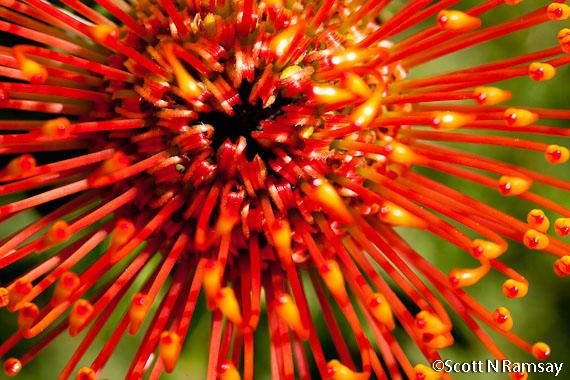 Protea flower in Kirstenbosch Botanical Gardens