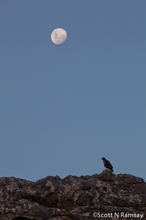 Table Mountain National Park - South Africa - Jackal buzzard and moon near Overseers Cottage on Table Mountain