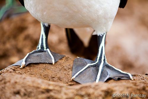 West Coast National Park - South Africa - Gannets on Malgas Island