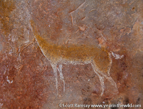 Rock art of possibly a springbok - Cederberg - South Africa