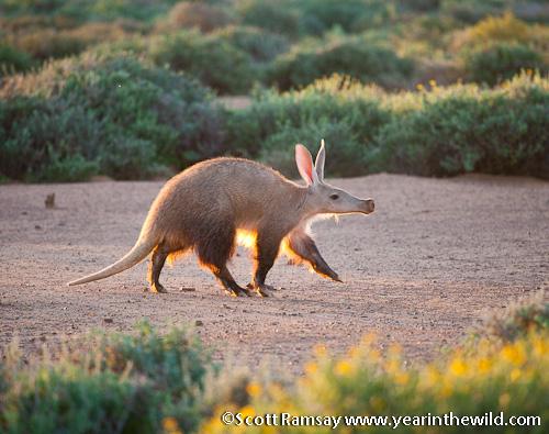 Aardvark - Tankwa Karoo National Park