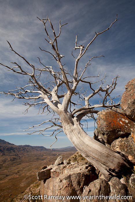 Ceder Tree - Cederberg - South Africa