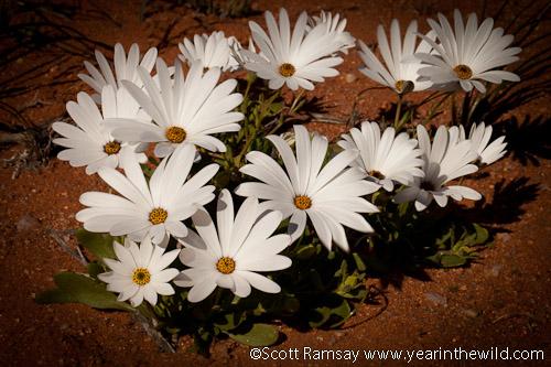 Namaqua Flowers...