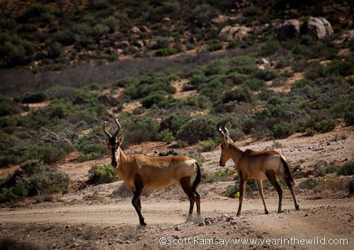 Hartbeest in Namaqua NP