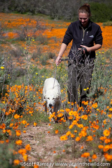 odi at Namaqua NP and one of her Anatolian sheep dogs.