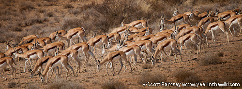 There is no shortage of springbok here in the Kgalagadi...although their numbers have declined, but are stable.
