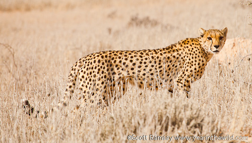 The female cheetah we saw on the Auob River