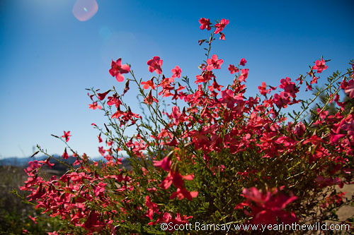 Flowers in Richtersveld National Park - the winter rains change this very dry landscape into a smorgasbord of colours