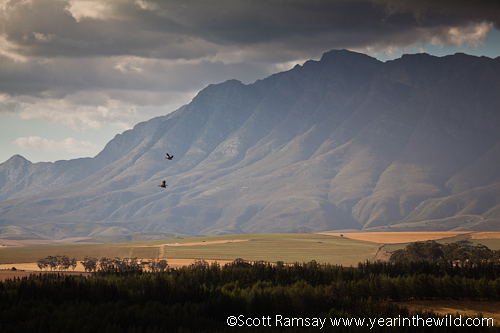 Two Egyptian Geese ascend against the Langeberg Mountains near the park...