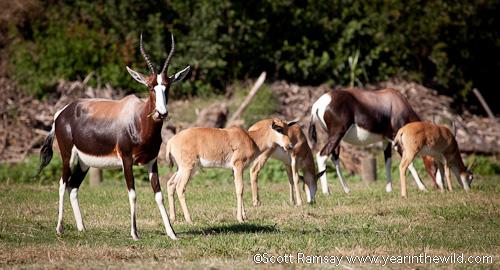 Bontebok and their calves...