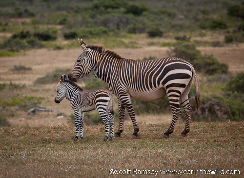 Cape Mountain zebra and youngster...