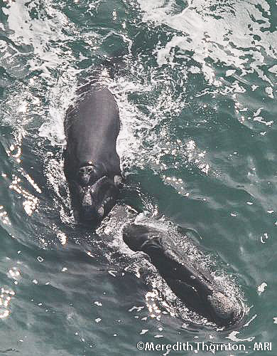 Cape Agulhas - Southern Right Whales