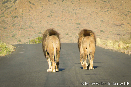 The two big males of the Karoo NP