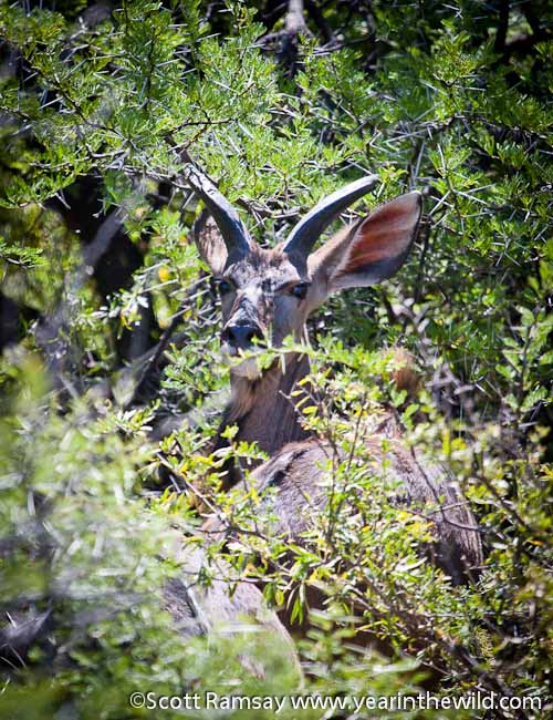 The kudu in the Karoo are shy...hiding in the riverine thicket. As they should...the lions are back!