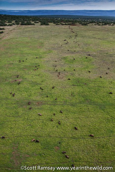 Big buffalo herd walking up to drink...