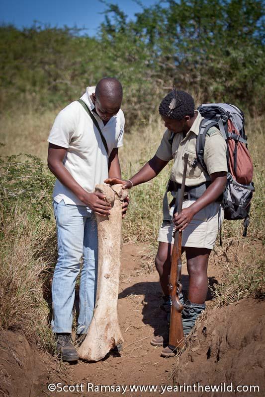 Elephant leg bone