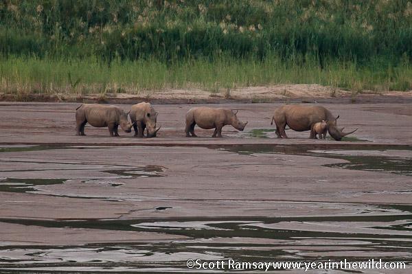 Rhinos at Camp