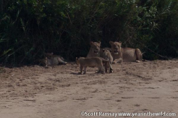 Lion Pride 2