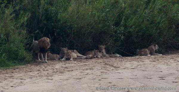 Lion Pride 3