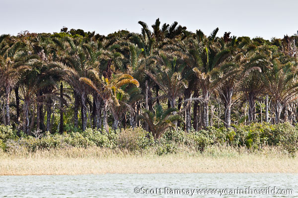 Raffia palms on the edge of the lake at Kosi Bay...