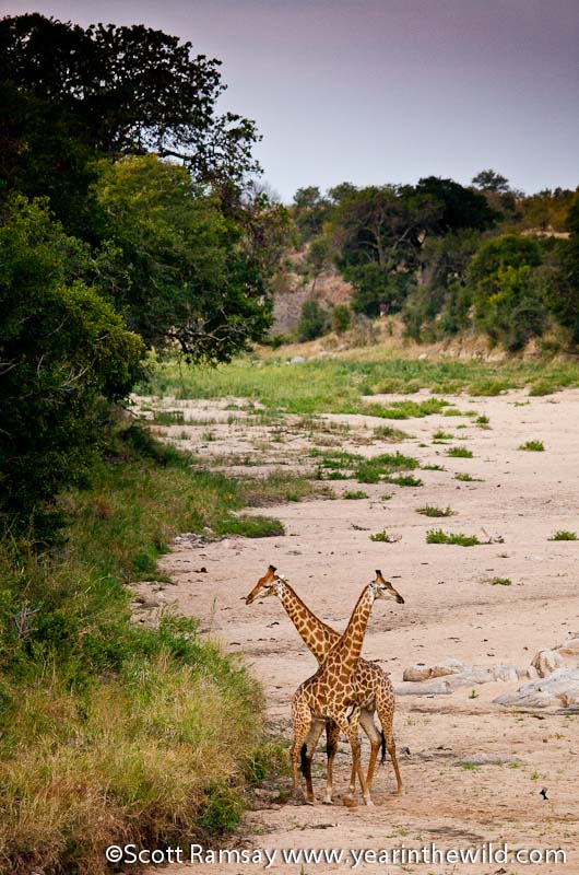 Giraffes in dry river bed