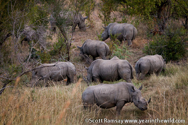 Never seen so many white rhino before altogether...