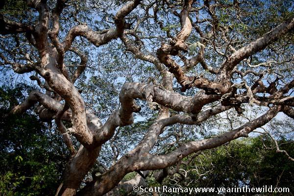 Pod Mahogany tree