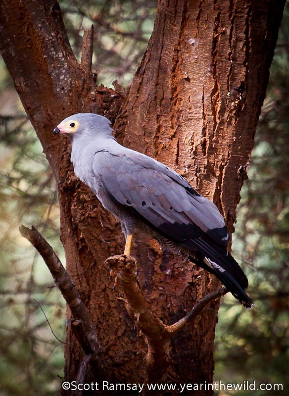 Gymnogene - its new name is African Harrier Hawk