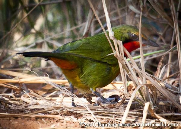 Gorgeous Bush-Shrike