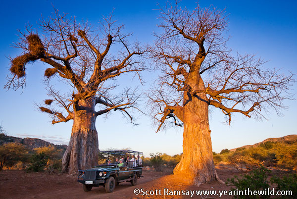 Twin baobabs