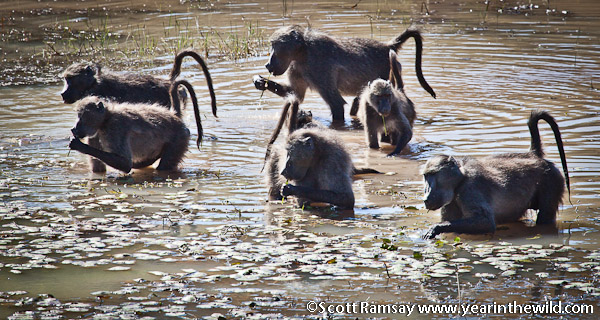 Baboons having some lunch at the dam near Tlopi Tented camp, at the base of the Waterberg