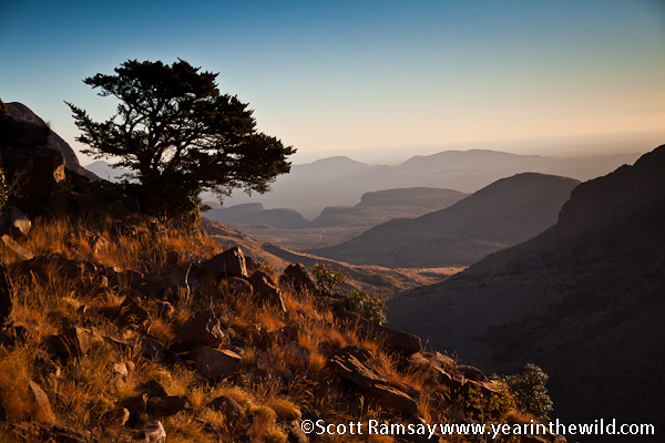 A lonely cedar tree stands atop one of the Waterberg mountain's peaks...