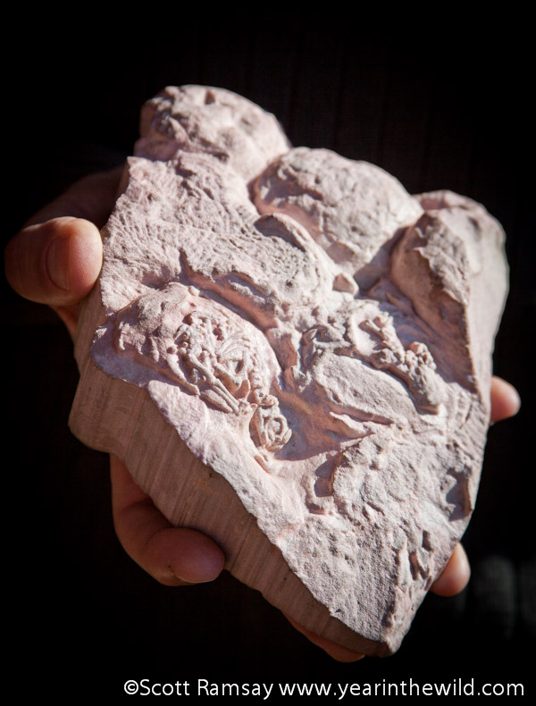 One of the fossilised embryos shows how the tiny dinosaur hatchling was breaking through the egg, just as it was covered by a mudslide and fossilised for eternity