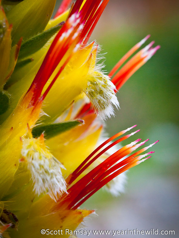 Kogelberg flower