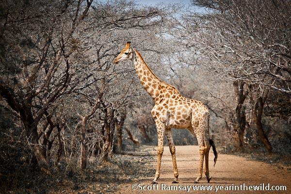 Giraffe at Ndumu