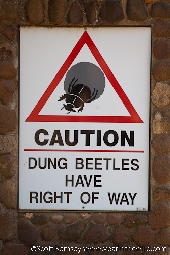 Caution: Dung beetles have right of way