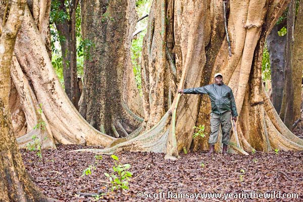 Field ranger Sonto Tembe at the sycamore fig forest on one of our walks near the Pongolo River