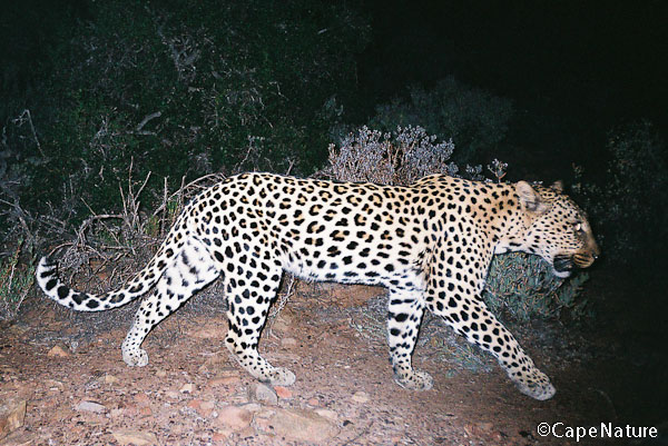 One of the leopards caught on Marius' camera traps in Anysberg Nature Reserve - great to see them!