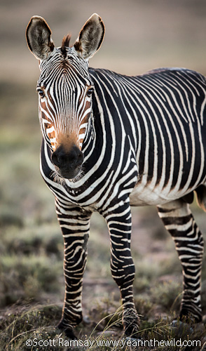Cape Mountain Zebra - the reason the park was proclaimed in 1937. Check out his stripey socks and knobbly knees! Very cool.