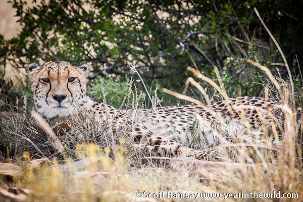 The female cheetah that allowed us to get within about ten metres - on our tracking walk with field guide Michael Paxton.