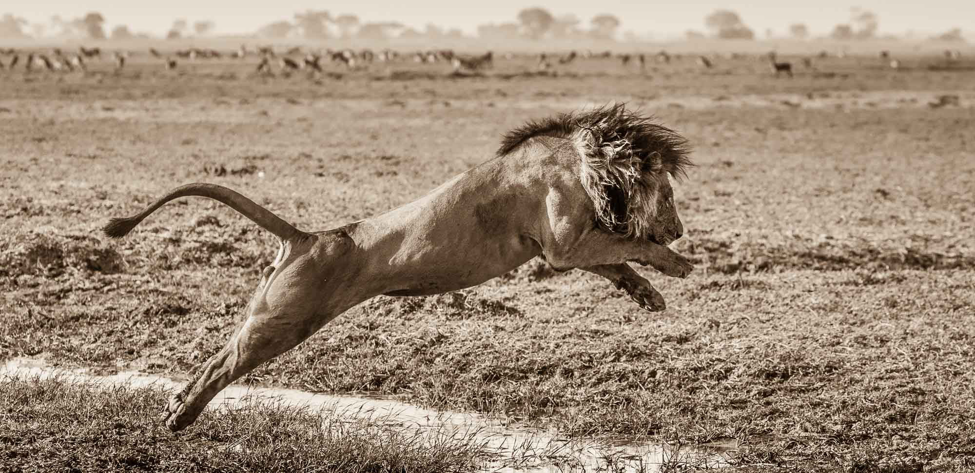 Lion - Busanga Plains - Kafue National Park - Zambia