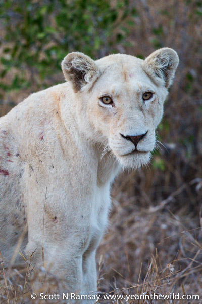 white lions what a way to end� year in the wild