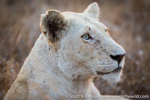 White Lion - Timbavati - Kruger - South Africa