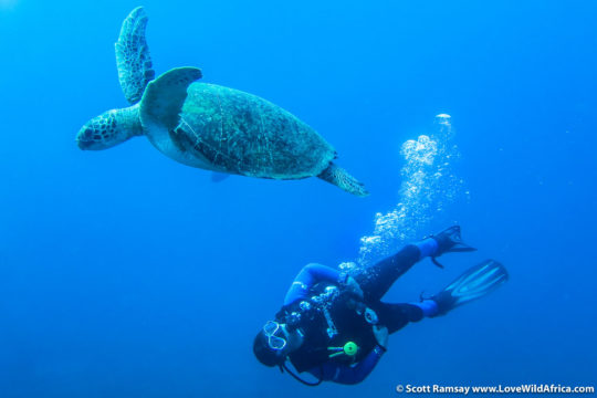 Diving with a green turtle in the marine protected area of iSimangaliso Wetland Park in South Africa
