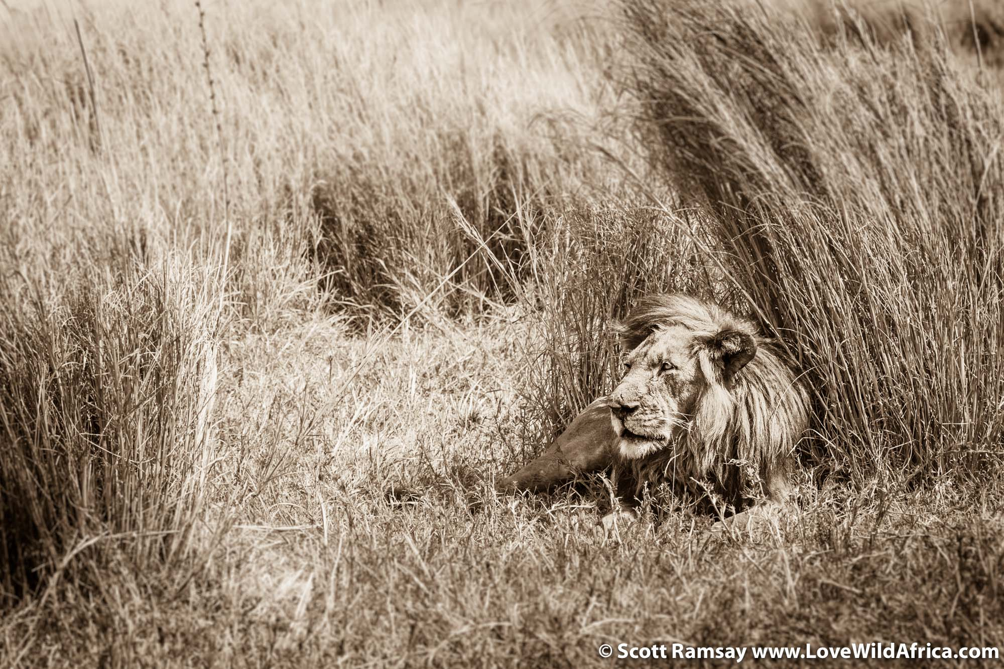 Lion resting during the day. We were alone with this male for a few hours.
