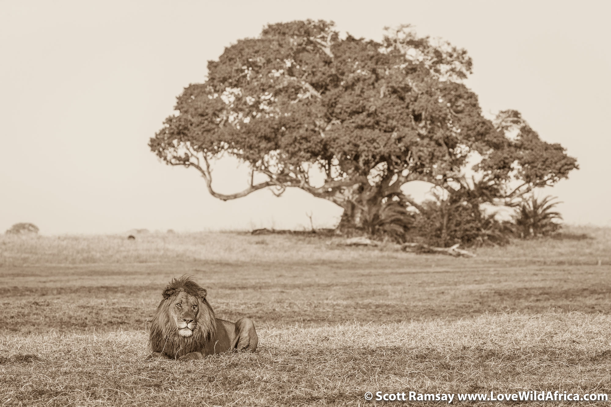 Male lion on the plains in front of a huge sycamore fig tree.