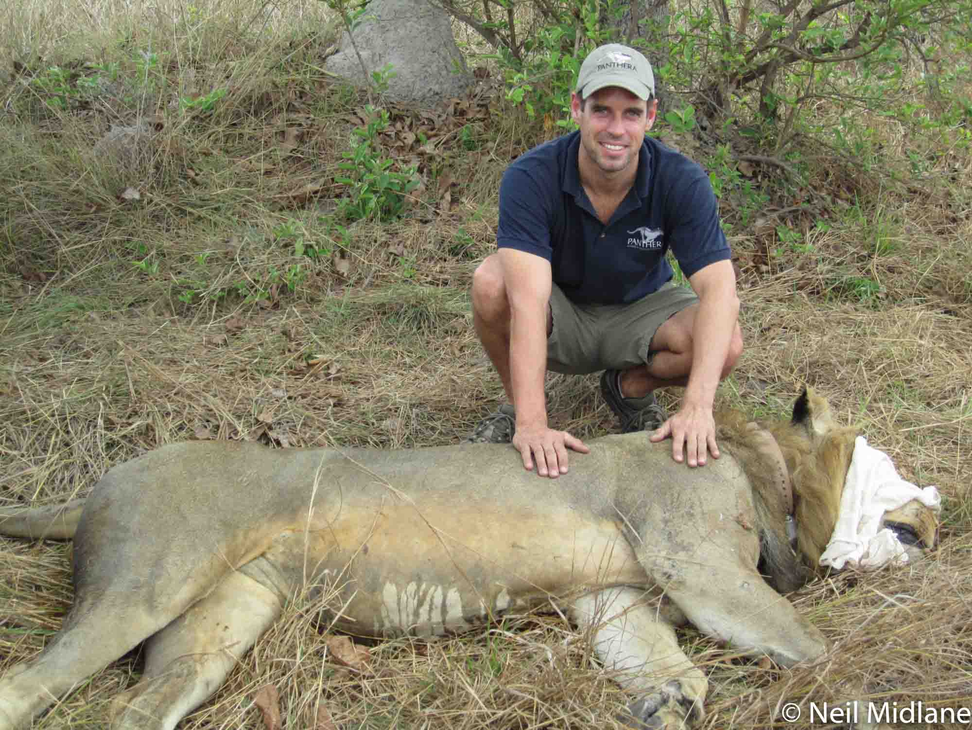 Neil Midlane and collared lion in Kafue.