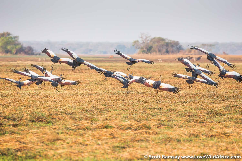 Flock of crowned cranes