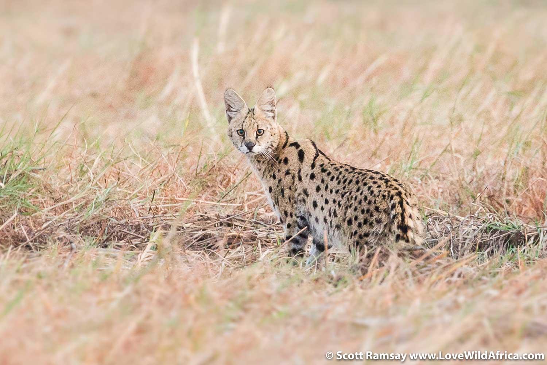Serval in the grasslands